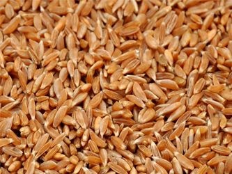 Wheat-Samba